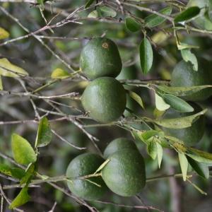 Photographie n°2318107 du taxon Citrus reticulata Blanco [1837]