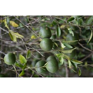 Citrus reticulata Blanco (Mandarinier)