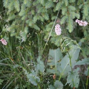Photographie n°2318152 du taxon Polygonum bistorta L.