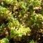 Herniaria glabra L. [nn75166] par Sylvain Piry le 15/07/2019 - Trégunc