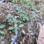 Verbena officinalis L. [nn71022] par Dorine RÉaud le 16/07/2019 - Frontenay-Rohan-Rohan