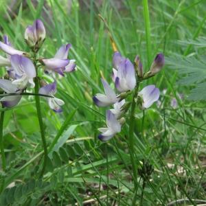 Photographie n°2318254 du taxon Astragalus alpinus subsp. alpinus