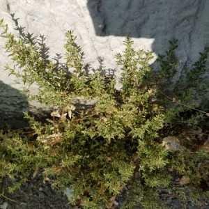 - Brassica sphaerorhiza Gray [1821]