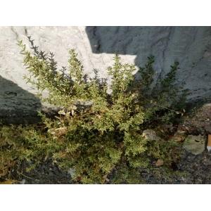 Brassica rapa L. var. rapa (Navet potager)