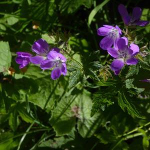 Photographie n°2318505 du taxon Geranium sylvaticum L. [1753]