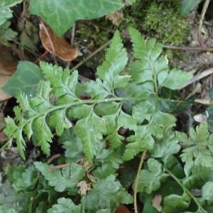 Photographie n°2318563 du taxon Asplenium adiantum-nigrum L.