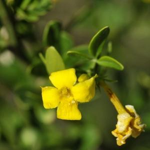 Photographie n°2318680 du taxon Jasminum fruticans L. [1753]
