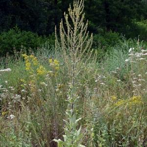 Photographie n°2318858 du taxon Verbascum pulverulentum Vill.