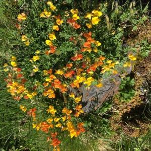 Photographie n°2318882 du taxon Lotus corniculatus subsp. alpinus (DC.) Rothm.