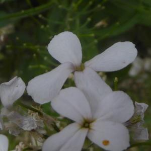 Photographie n°2319095 du taxon Hesperis matronalis L. [1753]