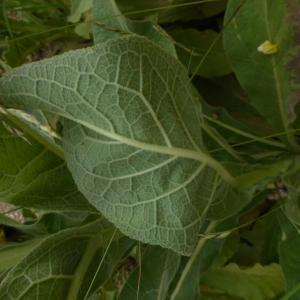 Photographie n°2319103 du taxon Verbascum L. [1753]