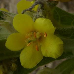 Photographie n°2319105 du taxon Verbascum L. [1753]