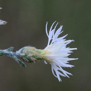 Photographie n°2319297 du taxon Centaurea paniculata L. [1753]