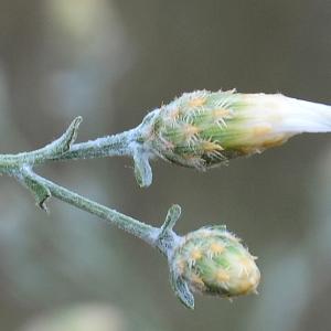 Photographie n°2319299 du taxon Centaurea paniculata L. [1753]