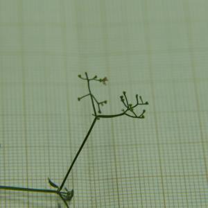 Photographie n°2319455 du taxon Galium palustre L. [1753]