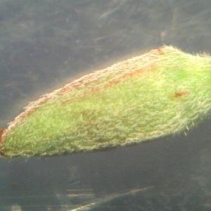 Photographie n°2319547 du taxon Epilobium obscurum Schreb. [1771]