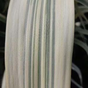 Photographie n°2319915 du taxon Arundo donax L. [1753]