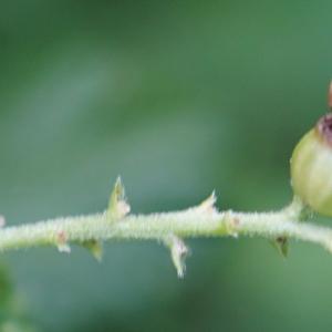 Photographie n°2320156 du taxon Ribes uva-crispa L. [1753]