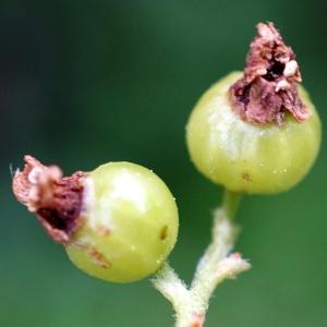Photographie n°2320158 du taxon Ribes uva-crispa L. [1753]