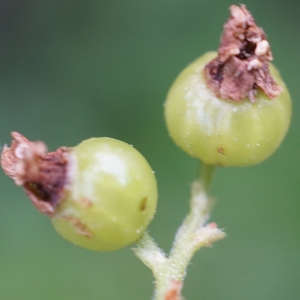 Photographie n°2320159 du taxon Ribes uva-crispa L. [1753]