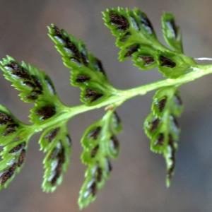 Photographie n°2320293 du taxon Asplenium adiantum-nigrum L.