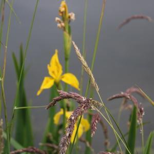 Photographie n°2320680 du taxon Iris pseudacorus L. [1753]