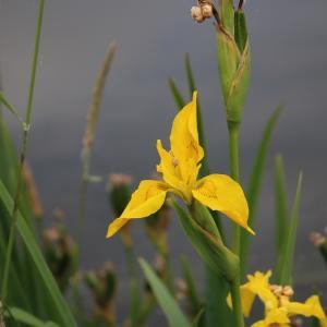 Photographie n°2320682 du taxon Iris pseudacorus L. [1753]