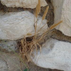 Photographie n°2320896 du taxon Sétaire verticillée