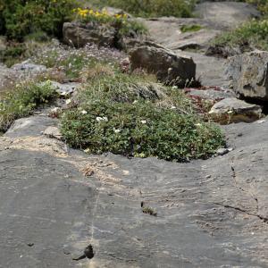 Photographie n°2321044 du taxon Potentilla alchemilloides Lapeyr. [1782]