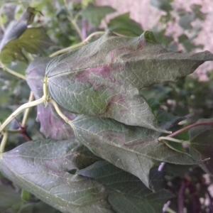 Photographie n°2321463 du taxon Viburnum opulus L. [1753]