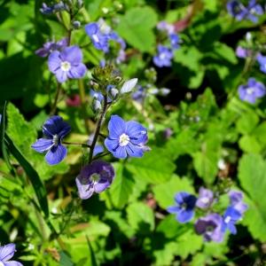 Photographie n°2321533 du taxon Veronica chamaedrys L. [1753]