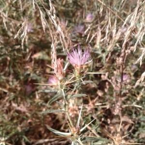 Photographie n°2321584 du taxon Centaurea calcitrapa L. [1753]
