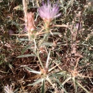 Photographie n°2321585 du taxon Centaurea calcitrapa L. [1753]