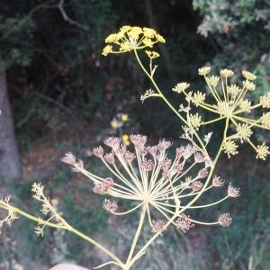 Ridolfia segetum (Guss.) Moris (Aneth des moissons)