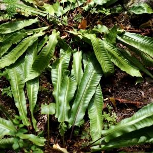 Photographie n°2321641 du taxon Scolopendrium vulgare Sm. [1793]