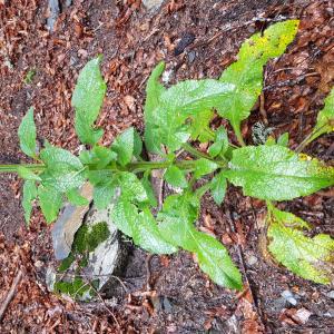 Photographie n°2321916 du taxon Digitalis purpurea L.