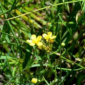 Photographie n°2321990 du taxon Ranunculus flammula L. [1753]