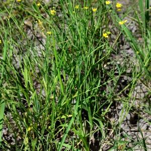 Photographie n°2321994 du taxon Ranunculus flammula L. [1753]