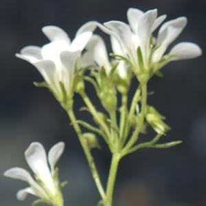 Photographie n°2322178 du taxon Saxifraga geranioides L. [1755]