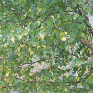 - Betula alba subsp. alba