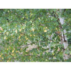 Betula pubescens subsp. suecica Gunnarsson (Bouleau blanc)