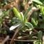 Sylvain Piry - Dianthus deltoides L. [1753]