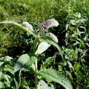 Photographie n°2322495 du taxon Mentha longifolia (L.) Huds. [1762]