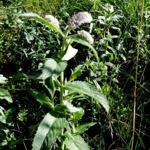 Photographie n°2322496 du taxon Mentha longifolia (L.) Huds. [1762]
