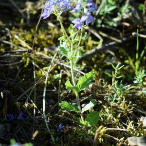 Photographie n°2322523 du taxon Veronica austriaca L.