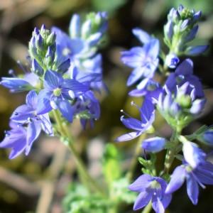 Photographie n°2322525 du taxon Veronica austriaca L.