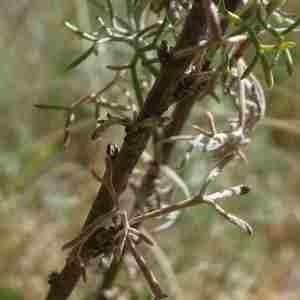 Photographie n°2322529 du taxon Artemisia chamaemelifolia Vill. [1779]