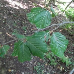 Photographie n°2322601 du taxon Fagus sylvatica L.