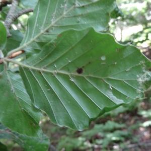 Photographie n°2322603 du taxon Fagus sylvatica L.