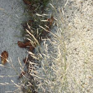 Photographie n°2322902 du taxon Agrostis capillaris L. [1753]